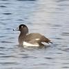 Reiherente-Aythya fuligula-Tufted Duck