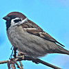 Haussperling-Passer domesticus