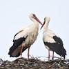 Weißstorch-Ciconia ciconia-White Stork