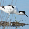 Säbelschnäbler-Recurvirostra avosetta-Pied Avocet