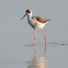 Stelzenläufer-Himantopus himantopus-Black-winged Stilt