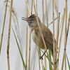 Drosselrohrsänger-Acrocephalus arundinaceus-Great Reed Warbler