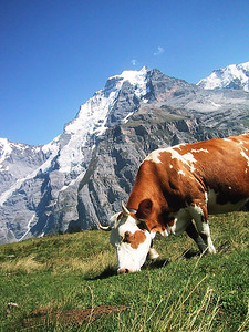 Cow grazing in front of the Jungfrau