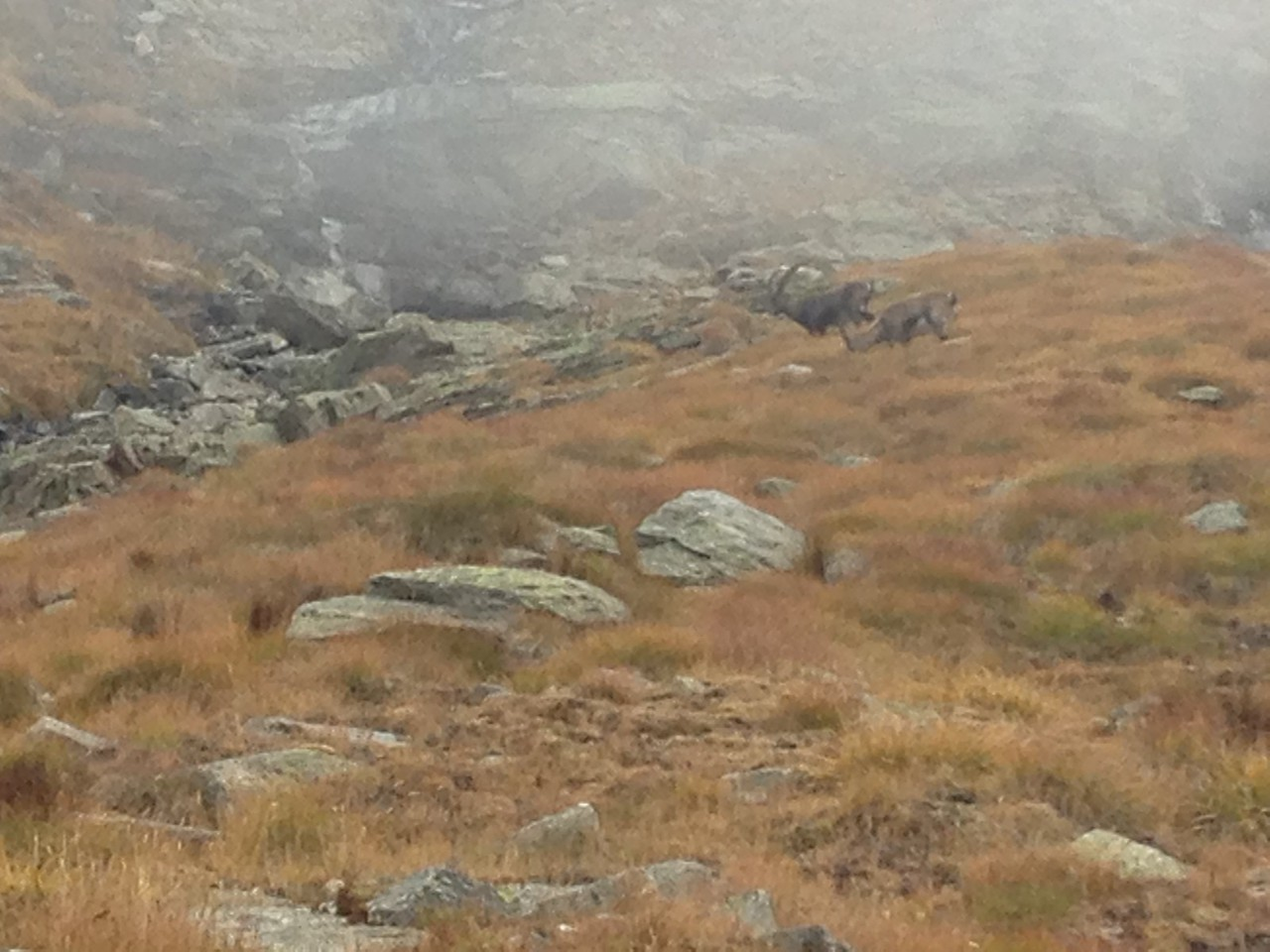 We had lunch at the col, in a complete white-out.  It got thicker as we sat eating and got pretty cold, so instead of going down to the next lake we decided to turn around and come back.  On the way back we saw four Chamois!!!