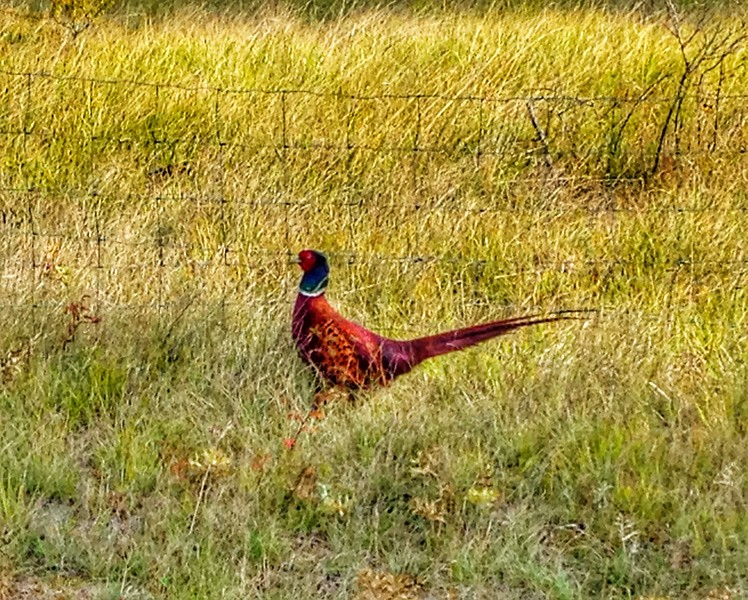 We drove back to Boyne over the top of the Causses, and spotted a pheasant right by the side of the road! It had some incredibly vibrant colours.