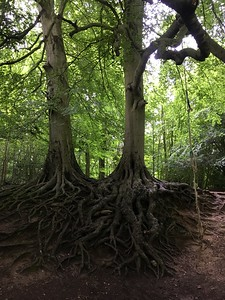 Hard to tell by the photo, but these roots were enormous