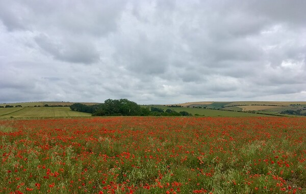 Field of poppies!