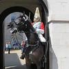 0164 - Horsey Guard 1