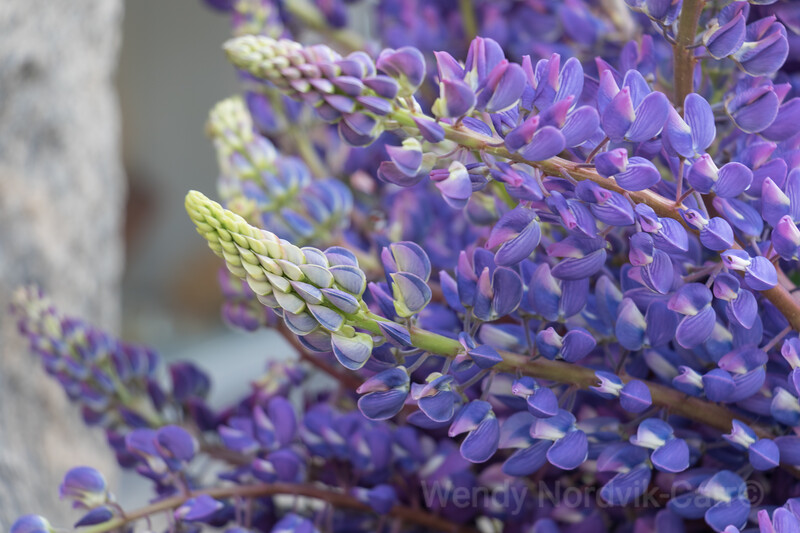 Stunning purple Lupins in Finland - Top things to do in Finland