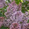 Lilac blooms in a Helsinki Finland garden