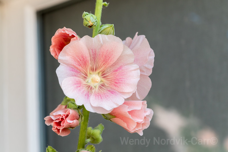 Beautiful hollyhock blooms of  Edam in Norther Holland