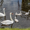 Swans swim at Zaanse Schans by the windmills in the Dutch countryside
