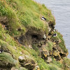 Discover Puffins on the rugged Shetland Islands, Scotland.