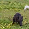 Adorable Shetland Ponies