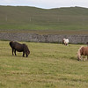 Where to see Shetland Ponies