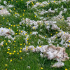 Sheep's wool in the meadow -  The magic of the Isle of Skye, Scotland