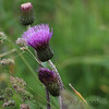 A thistle in the magical countryside of Isle of Skye, Scotland