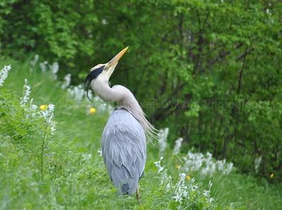 Defensive Great Blue Heron