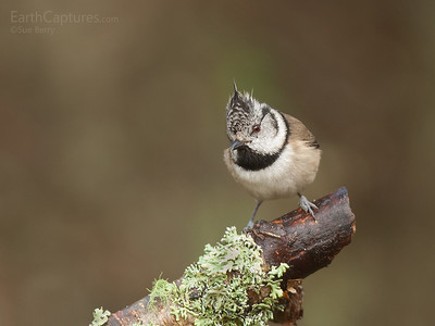 Crested Tit, Cairngorms, Scotland
