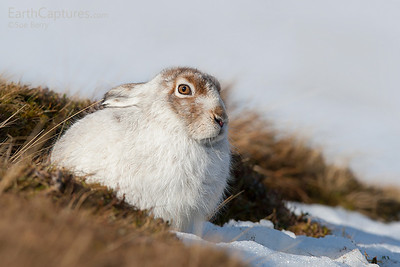 Mountain Hare, Cairngorms, Scotland