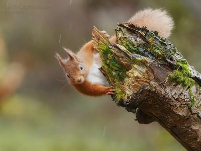 Red Squirrel, Cairngorms, Scotland, 2015