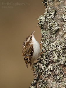 Tree Creeper, Cairngorms, Scotland
