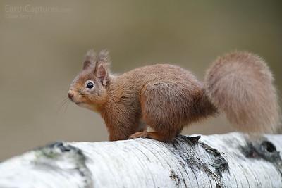 Red Squirrel, Cairngorms, Scotland