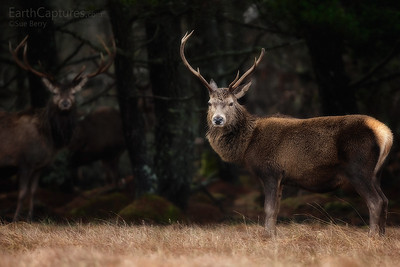 Red Deer, Cairngorms, Scotland