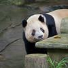 Panda #2
