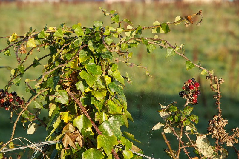 Cobweb in the Hedgerow