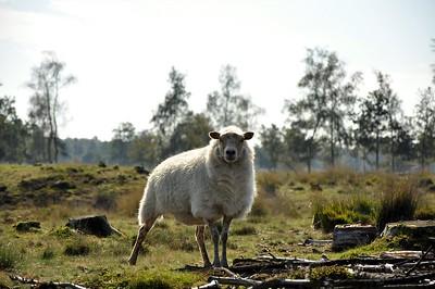Nederland; Schaapjes, Duinen, Paddestoelen Bos en Koetjes