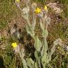 Fa 0993 Hieracium villosum