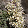 Fa 0986 Saxifraga callosa (= lingulata)