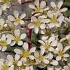 Fa 0991 Saxifraga callosa (= lingulata)