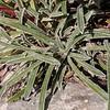 Fa 0992 Saxifraga callosa (= lingulata)