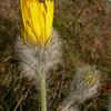 Fa 0994 Hieracium villosum
