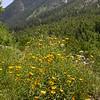 Fa 0012 Buphthalmum salicifolium