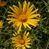Fa 0014 Buphthalmum salicifolium