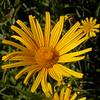 Fa 0015 Buphthalmum salicifolium