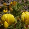 Fa 0021 Ononis natrix