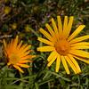 Fa 0013 Buphthalmum salicifolium