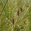 It 0768 Carex paupercula