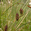 It 0769 Carex paupercula