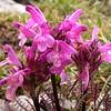 Oa 0010 Pedicularis rosea