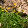 Oa 0016 Doronicum columnae