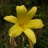 Ia 0918 Hemerocallis lilio-asphodelus
