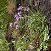 Ia 0018 Phyteuma scheuchzeri