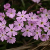 Ia 0009 Primula farinosa