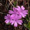 Ia 0005 Primula integrifolia