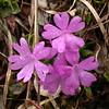 Ia 0004 Primula integrifolia